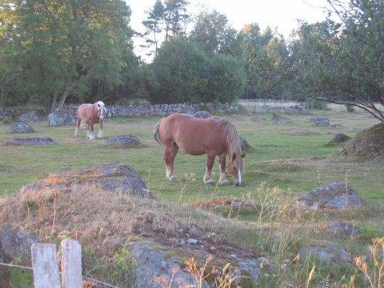 Hästar i naturbetesmark
