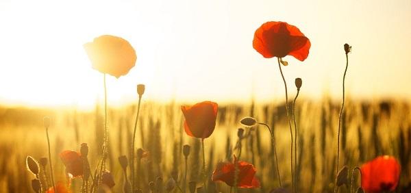 Vallmo i solnedgång