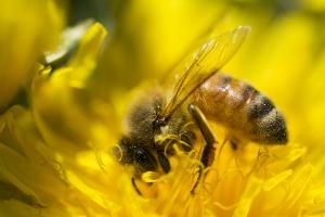 Bild på ett bi i en blomma