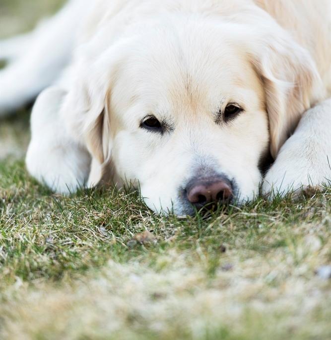 Labradorhund vilar p� gr�smatta. Foto: Skandinav bildbyr�/David Zand�n.