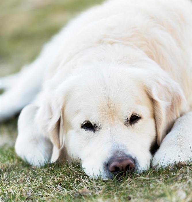 Labrador vilar på gräsmatta.